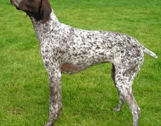 Il garrese, l'altezza al garrese e le taglie canine: come misurare un cane?