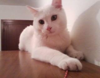 Fip gatto: peritonite infettiva felina