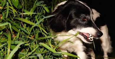 Perché i cani mangiano l'erba? I motivi di questa strana abitudine