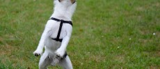 Cane o cucciolo che salta addosso. Come educarlo