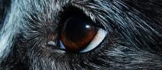 Congiuntivite cane: tipi di congiuntivite del cane, sintomi e cura