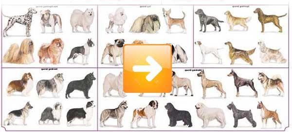 Razze cani classificazione cinofila e razze canine for Tequila e bonetti cane razza