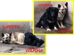 VOLPINA-LUPETTO-carosis