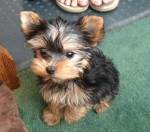 YORKSHIRE REGALO YORKSHIRE TERRIER TOY