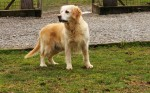 GOLDEN RETRIEVER Cloe