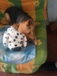 JACK RUSSELL, PINSCHER, TERRIER, YORKSHIRE Cagnolino