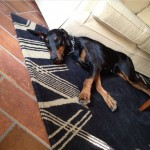 DOBERMANN Cane Dobermann femmina