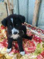 BORDER COLLIE, LEONBERGER Lussy simil border colli femminucce 3 mesi