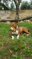 PITTBULL Cane Pit Bull red nous femmina Kaylee in adozione