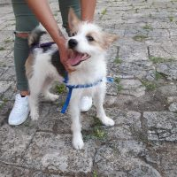 JACK RUSSELL, YORKSHIRE Aron jack russel / york 6 mesi in adozione