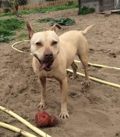 PITTBULL Cane Pit Bull red nose femmina ELLE, 2 anni