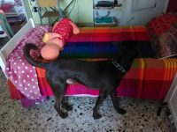 BORDER COLLIE, BRACCO, LABRADOR Regalo Cane