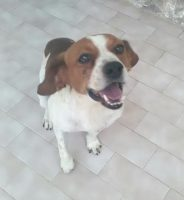 JACK RUSSELL, TERRIER Giacomino, taglia piccola 7kg, mix Jack Russell