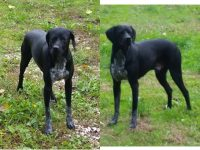 BRACCO, METICCIO, POINTER THOR 1anno splendido mix bracco/pointer