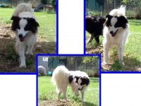 BORDER COLLIE, METICCIO KANSAS 2-3anni mix border timidino!