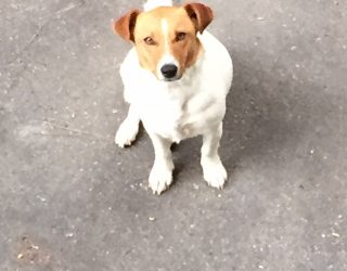 JACK RUSSELL Meticcio di Jack Russell