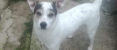 JACK RUSSELL, METICCIO CHICO MIX J RUSSEL