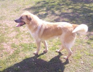 GOLDEN RETRIEVER Cane simil golden retriver