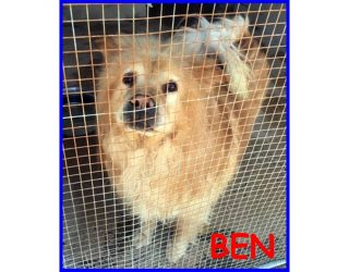 CHOW CHOW BEN 9anni parcheggiato in canile…