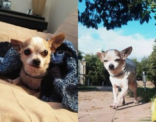 CHIHUAHUA GENGY dolce nonnino in cerca d'amore