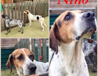 POINTER, SETTER INGLESE MIX POINTER BRACCO SETTER, NINO