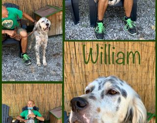 SETTER INGLESE WILLIAM DETTO WILLY SETTER INGLESE TRICOLOR