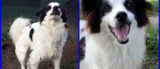 BORDER COLLIE, METICCIO KANSAS 4anni allegro educato mix border