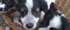 BORDER COLLIE Cuccioli simil border collie ma più belli!