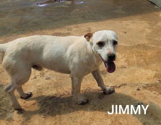 JACK RUSSELL, METICCIO CANE JIMMY PICCOLO GIOVANE CANILE Simil Jack Russell