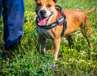 PITTBULL American staffordshire terrier Lesly